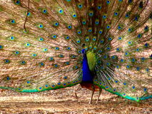 Dancing Peacock Royalty Free Stock Image