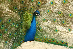 Dancing peacock Stock Images