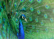 Dancing peacock Stock Photo