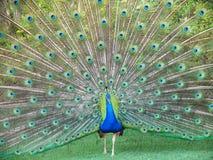 Dancing Peacock Stock Image