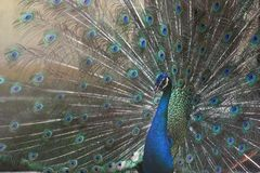 Dancing peacock Stock Image