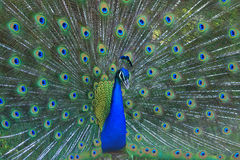 The dancing Peacock Stock Photography