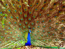 Dancing Peapock. This is a beautiful dancing peacock Royalty Free Stock Photography