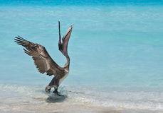 Dancing Pelican Royalty Free Stock Photos