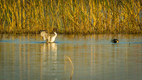 Dancing Pintail Duck Stock Image