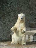 Dancing polar bear-she. The polar bear-she in the zoological garden Royalty Free Stock Photo