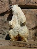 Dancing Polar Bear. Polar bear standing on hind lets Stock Photo