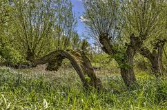 Dancing pollard willows. Three capriciously shaped pollard willows in a grassy field in nature reserve Biesbosch in the Netherlands Royalty Free Stock Images