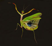 Dancing praying mantis. Praying mantis that dance on dark background Royalty Free Stock Image
