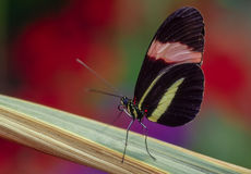 Dancing Queen. Small Postman (Heliconius erato). A neotropical butterfly Royalty Free Stock Images