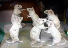 Dancing Rats Royalty Free Stock Photo