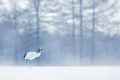 Dancing Red-crowned crane with open wing in flight, with snow storm, Hokkaido, Japan. Bird in fly, winter scene with snowflakes. royalty free stock photo