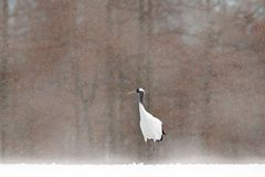 White Red-crowned crane with einter forest, with snow storm, Hokkaido, Japan. Bird in fly, winter scene with snowflakes. Snow danc Stock Images