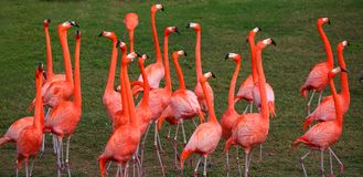 Dancing Red Flamingo Royalty Free Stock Image