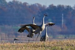 DANCING SANDHILL CRANES. Sandhill cranes mate for life, but every spring they do a courtship dance. Fun to watch stock photos