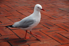 Dancing sea-gull. White clean sea-gull dancing on red bricks Royalty Free Stock Image