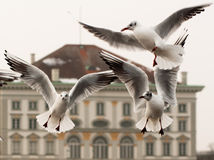Dancing seagulls at Nymphenburg palace. Three seagulls in front of Nymphenburg palace in Munich, Germany Stock Photos