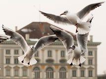 Dancing seagulls at Nymphenburg palace Stock Photos