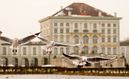 Seagulls at Nymphenburg palace. Three seagulls in front of Nymphenburg palace in Munich, Germany Royalty Free Stock Images
