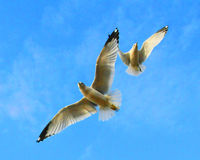 Dancing Seagulls. Two seagulls flying as if they were dancing against a blue sky Royalty Free Stock Photo