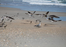 Dancing Shoreline. Sea birds make short flights along the shoreline in what appears to be an intricate dance Stock Photography
