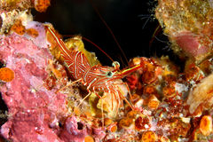 Dancing shrimp Royalty Free Stock Photography