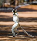 Dancing Sifaka is on the ground. Funny picture. Madagascar. stock images