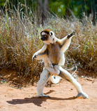 Dancing Sifaka is on the ground. Funny picture. Madagascar. stock photo