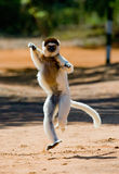 Dancing Sifaka is on the ground. Funny picture. Madagascar. An excellent illustration royalty free stock photo