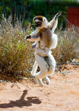 Dancing Sifaka is on the ground. Funny picture. Madagascar. An excellent illustration stock photography
