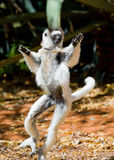 Dancing Sifaka is on the ground. Funny picture. Madagascar. An excellent illustration royalty free stock images