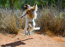 Dancing Sifaka is jumping. Madagascar. Stock Photography