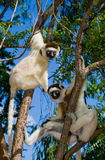 Dancing Sifaka sitting on a tree. Madagascar. Stock Photos
