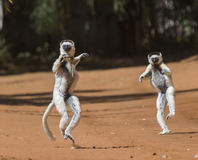 Dancing Sifakas are on the ground. Funny picture. Madagascar. An excellent illustration stock images