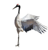 Dancing single japanese crane on white Stock Images