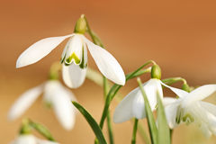 Dancing snowdrops Stock Images