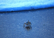 Dancing in the Surf. Blue crab walking into the surf Stock Photography