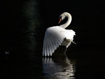 Dancing swan. Mute swan standing in water and claning his feathers Stock Photos