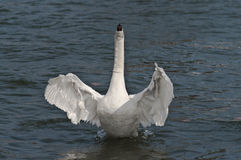 The dancing swan. The swan rising upon a river Stock Photography