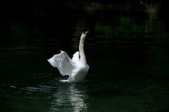 A dancing swan Stock Photos