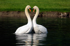 Dancing swans. Two male swan fighting. They look like dancing in the water. Heart shaped necks royalty free stock photos