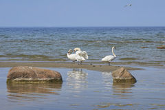 Dancing swans on the sand island Stock Images