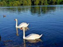 Dancing of swans Stock Photos