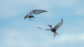 Dancing Terns Royalty Free Stock Images