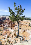 Dancing Tree, Bryce National Park, Utah. A tree with roots exposed by erosion appears to be dancing on the cliff edge in Bryce National Park, Utah Royalty Free Stock Image