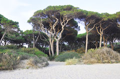Dancing trees. Pine trees on the beach of Follonica, Toscana, Italy Royalty Free Stock Photography