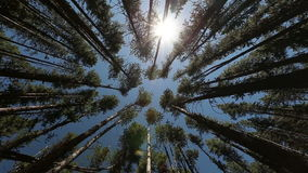 Dancing Trees. Tall pines sway in the strong wind, playing in the sunlight stock video