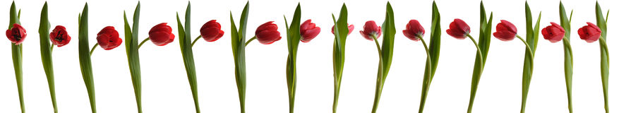 Dancing tulip Royalty Free Stock Photography