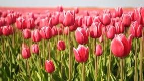 Dancing Tulips stock video footage