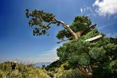 Dancing vitality. Gnarled cypress tree in Taroko National Park, Taiwan Royalty Free Stock Photo